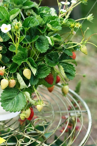 Strawberry plant on small metal table in garden