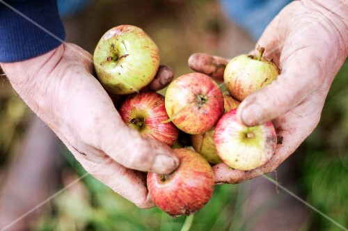 Hands holding windfall apples