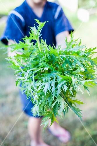 A man holding mizuna (Japanese lettuce) in a garden