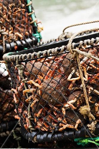 Baskets of freshly caught crabs at Port Isaac (Cornwall, England)
