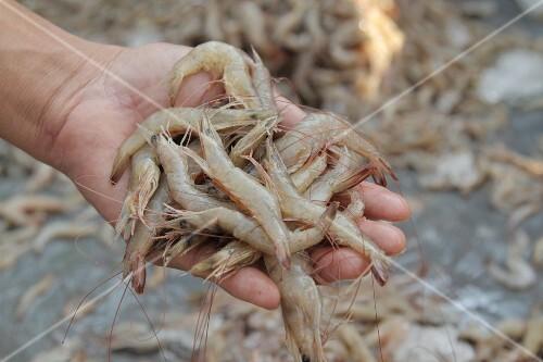 Hands holding fresh prawns, Thailand