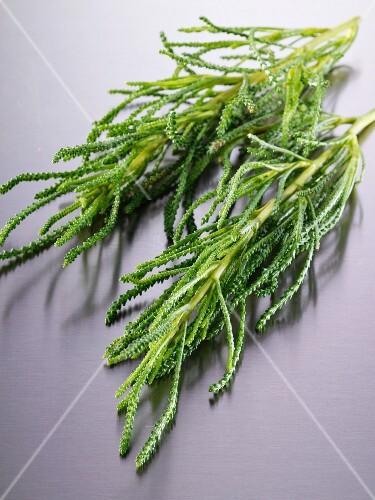 Fresh santolina