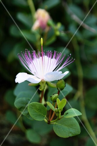 Caper flowers on a branch