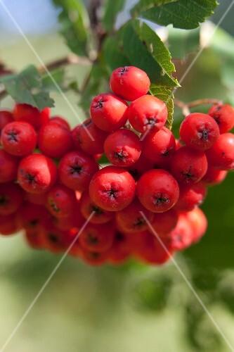 Rowan berries on branch