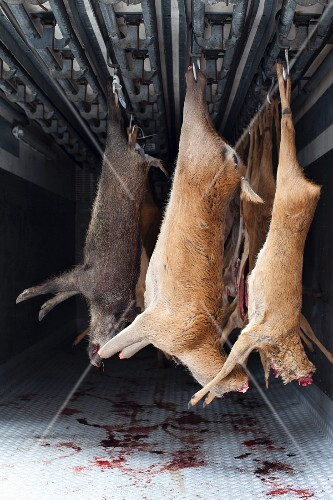 Slaughtered game hanging in a refrigerated vehicle