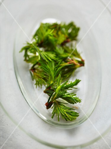 Fresh pine buds