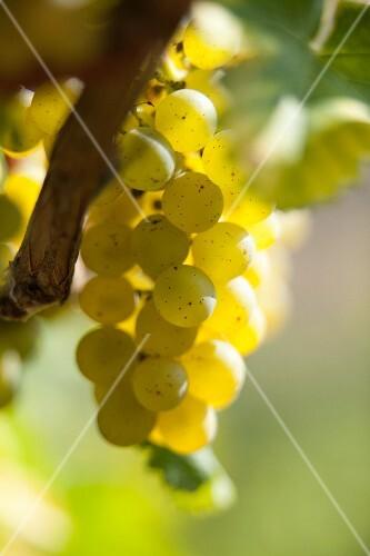 Sauvignon grapes in sunshine