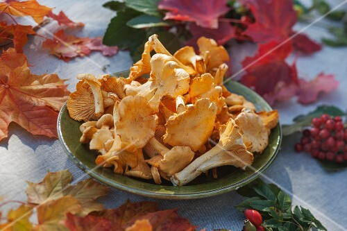 Chanterelle mushrooms on a plate on a table decorated with maple leaves