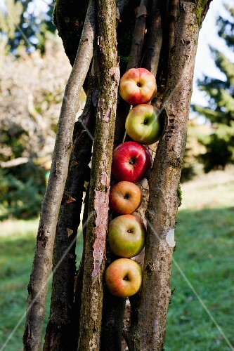 Various types of apples from an orchard meadow placed between the branches of a tree