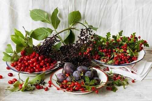 Cornelian cherries, rosehips, damsons and hawthorn berries on enamel plates with elderberries on top