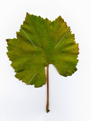 A green Chardonnay vine leaf (seen from above)