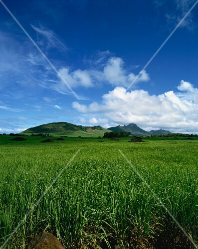 A wide landscape of sugar cane fields, Mauritius, Africa