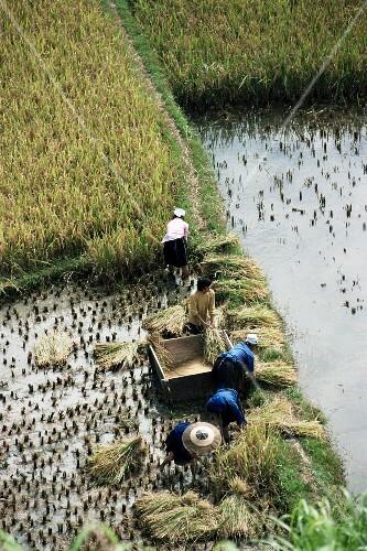 Rice farmers harvesting rice, Guizhou, China