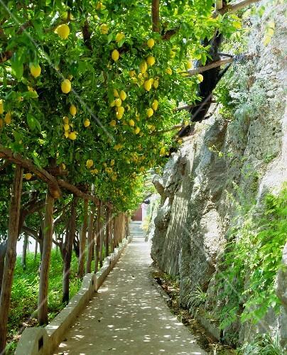 A lemon grove next to a steep path, Amalfi coast, Campania, Italy