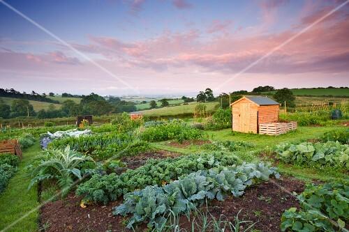 A flourishing vegetables garden with a shed in a hilly landscape, Morchard Bishop, Devon, England