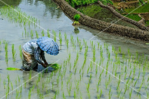 A woman harvesting rice on the rice terraces of Banaue, UNESCO World Heritage Site, Northern Luzon, Philippines