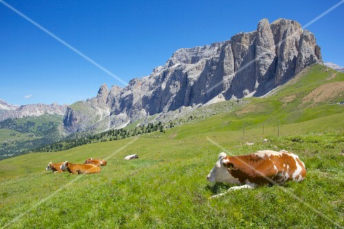 Cattle in front of the high mountains of the Sellajoch, Dolomites, Italy