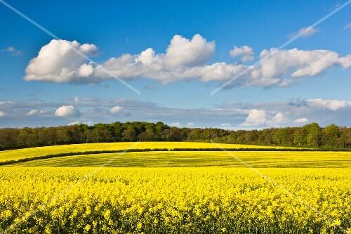 Fields of flowering oilseed rape in springtime, Yorkshire, England