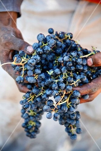 A harvest worker holding Malbec wine grapes, Mendoza, Argentina, South America