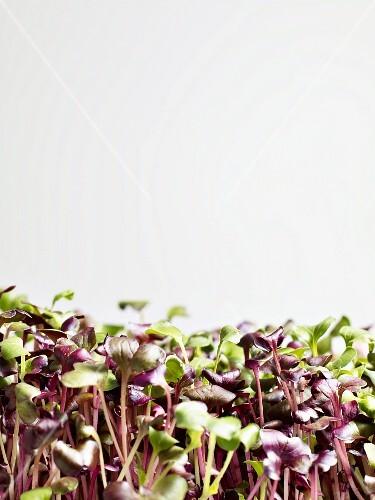Fresh radish sprouts