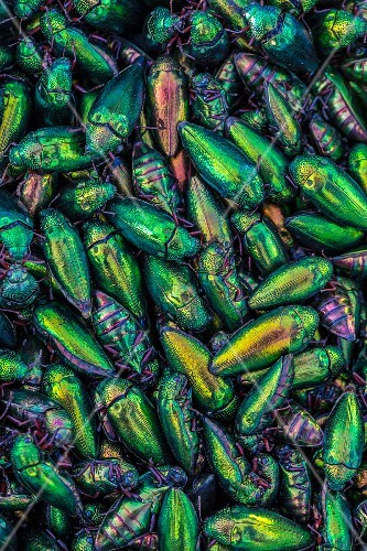 Brightly coloured edible beetles at a market (Vientiane, Laos)