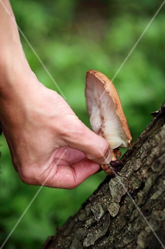 A hand picking a mushroom from a tree trunk