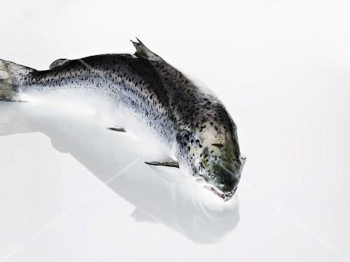 A whole salmon