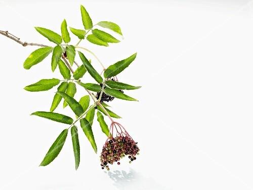 A sprig of elderberries