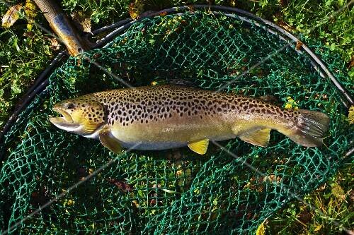 Farm-bred trout in a net