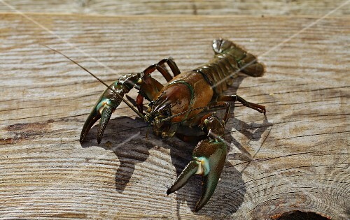 Crayfish on a wooden board