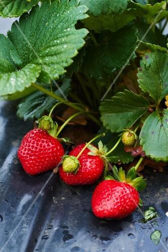 Strawberries on garden foil