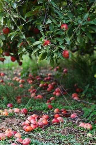 An apple tree and windfalls