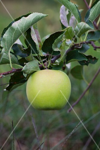 A green apple on a tree