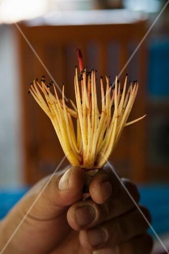 Hands holding bombax (edible flower, Thailand)