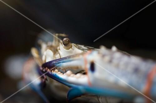 A bound blue crab at a market (Bangkok, Thailand)