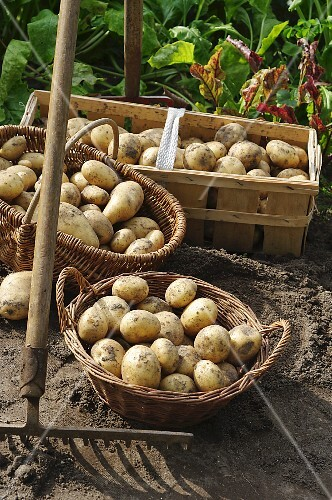 Baskets of freshly harvested potatoes in a garden with a rake and a gardening fork