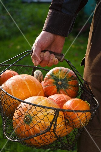 A man in a garden holding a wire basket of freshly harvested, orange pumpkins