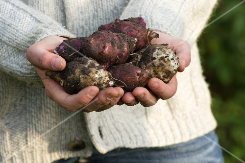 A girl in a garden holding freshly harvested Jerusalem artichokes