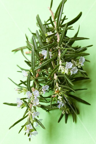 Fresh flowering rosemary