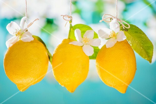 Lemons hanging with leaves and flowers
