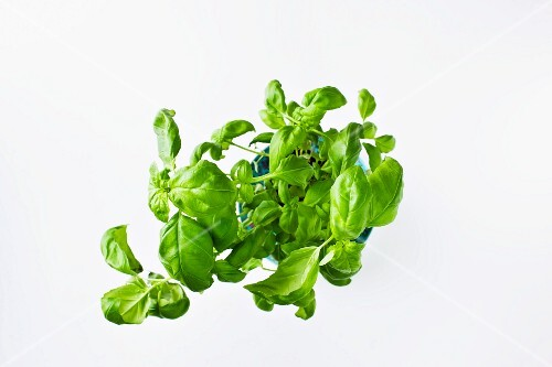 Fresh basil in a flower pot (seen from above)