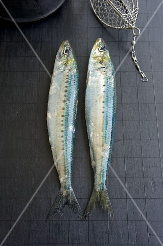 Two sardines with wire bait