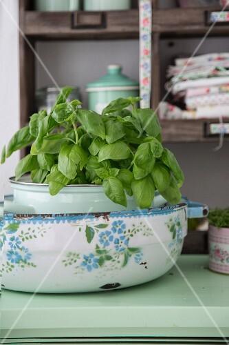 Basil in a vintage enamel pot on a kitchen dresser