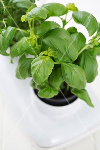 Fresh basil in a flowerpot