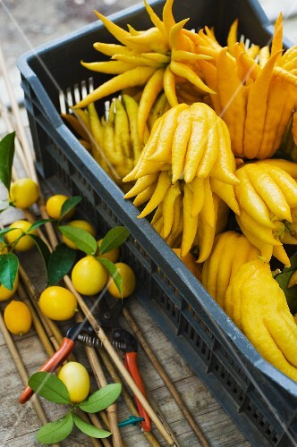 A crate of Buddha's hand lemons with lemons and pruning shears next to it
