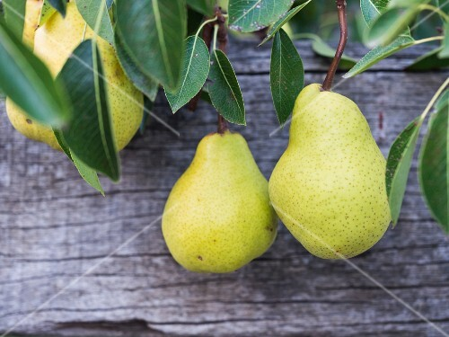 Pears in an orchard in South Africa