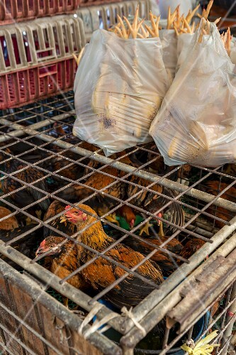 Live and slaughtered chickens at a market in Bangkok, Thailand