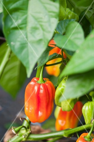 Peppers on the plant
