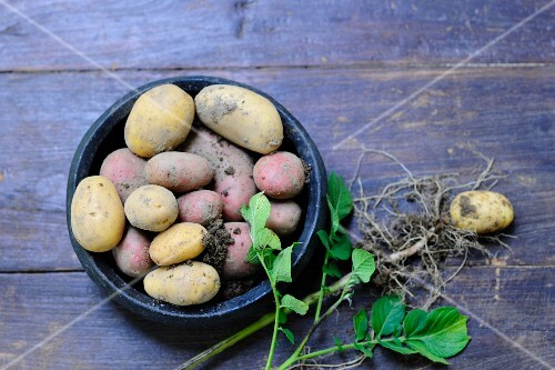 Various types of potatoes and a potato plant