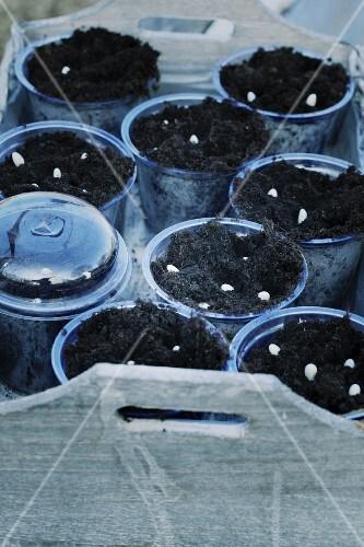 Bean seeds in plastic pots